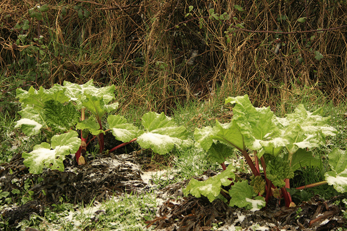 rhubarb under snow