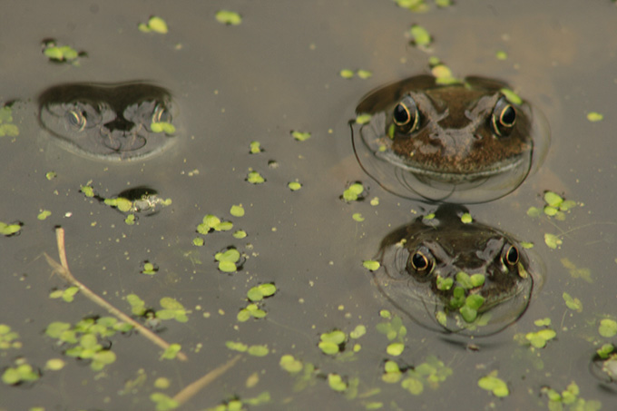 frogs in pond